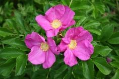 rosa-rugosa-7_helene-nyegaard-hvid